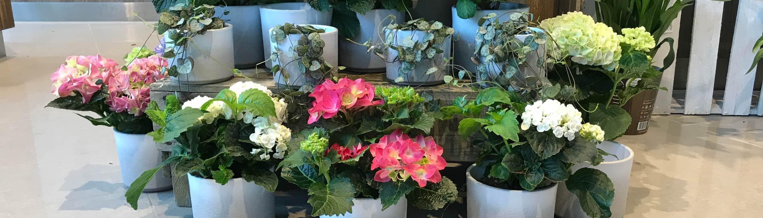Verschiedene Hortensien in Töpfen ausgestellt in einem Blumengeschäft