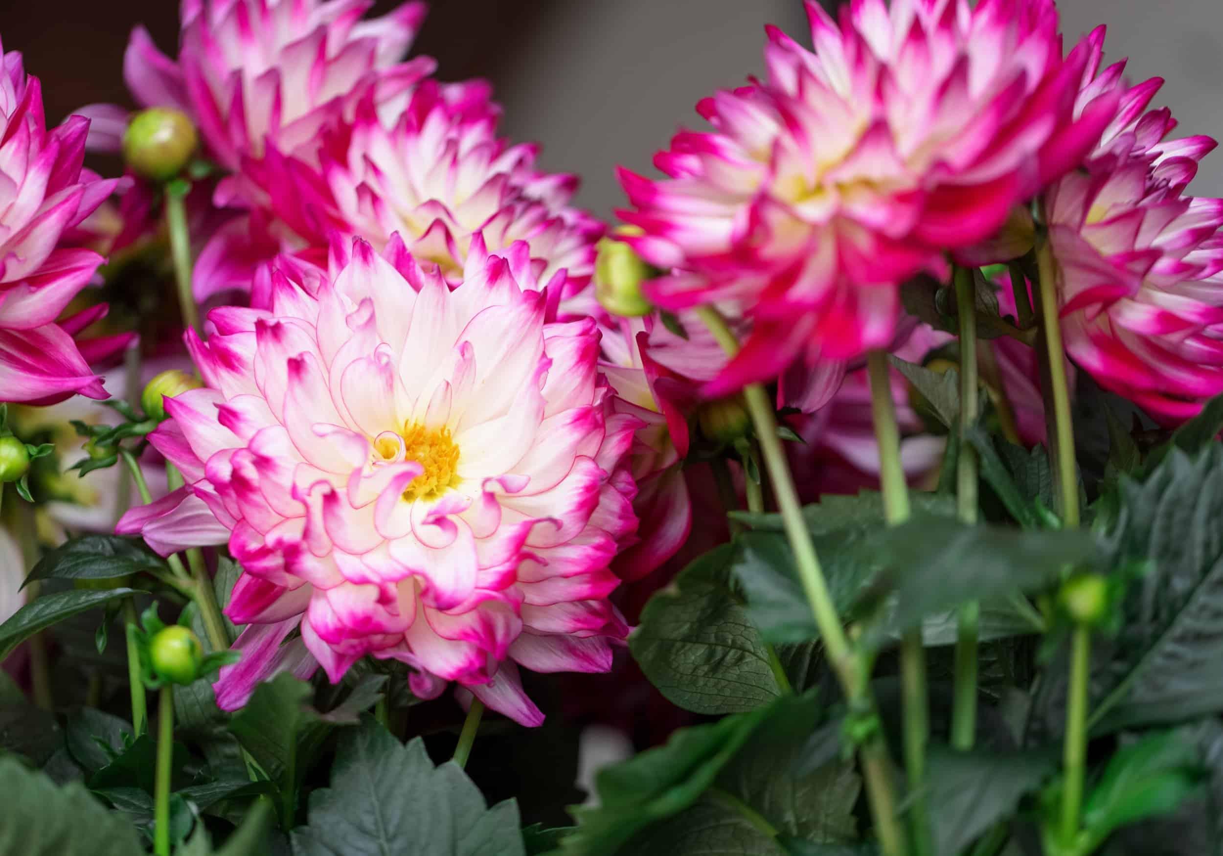 Eine Detailaufnahme von pink-weißen Dahlien