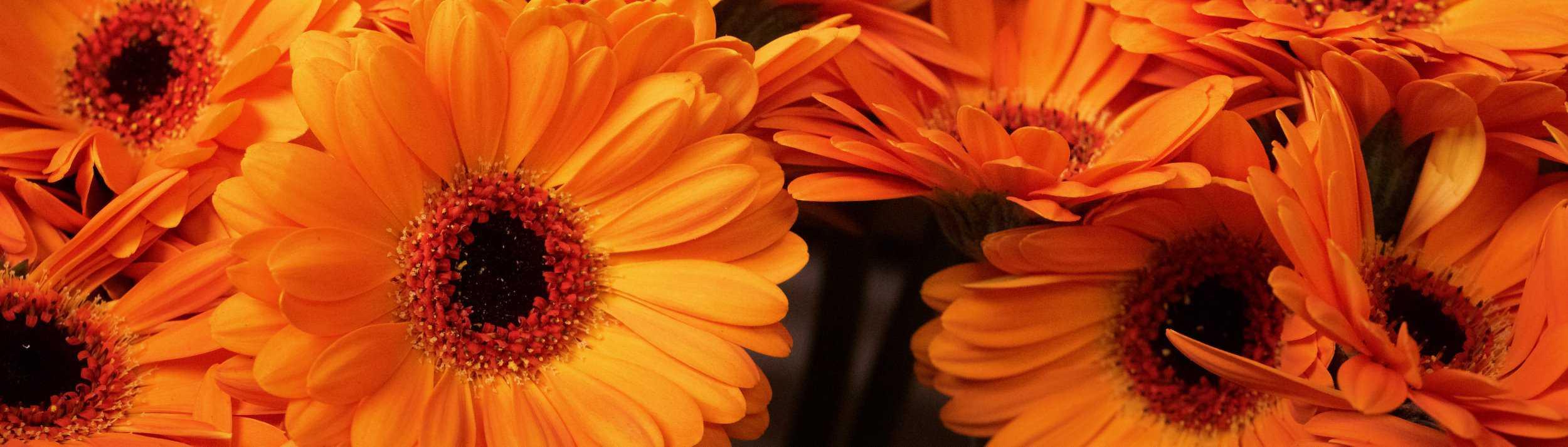 Eine Detailaufnahme von orangenen Gerberablüten