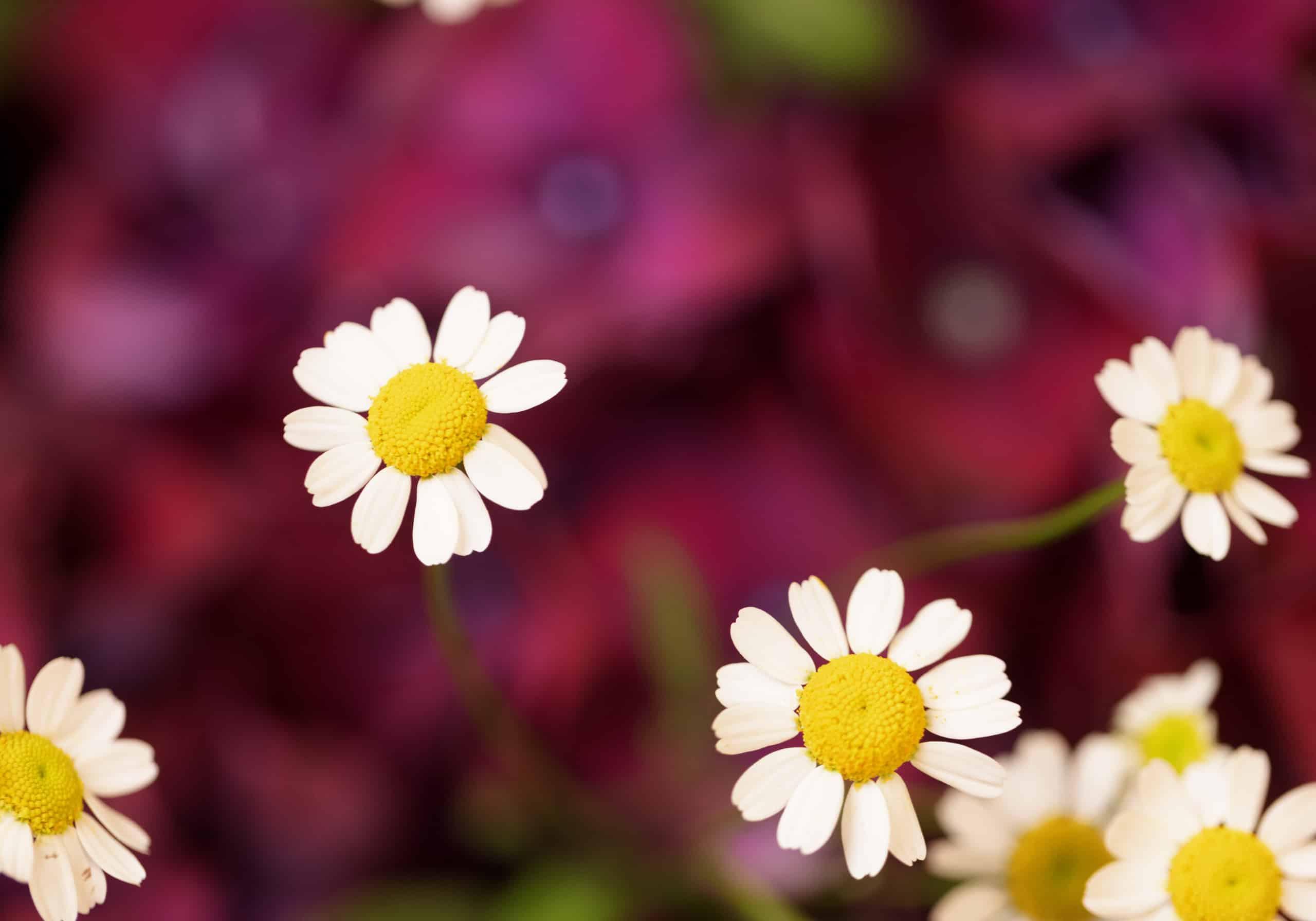 Eine Detailaufnahme von weißen Margeritenblüten vor einem lila Hintergrund aus Hortensien